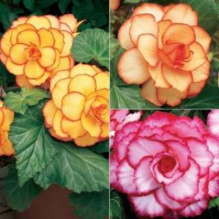 5 BEGONIA PICOTEE MIXED 4-5