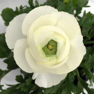 25 Garden Bulbs White Shade Collection