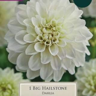 DAHLIA BIG HAILSTONE I