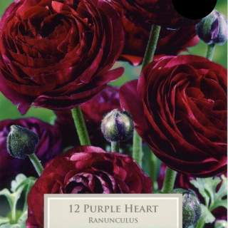 10 RANUNCULUS PURPLE HEART 5-6