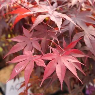 Acer palmatum Bloodgood  C6.5