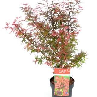 Acer palm. Shaina