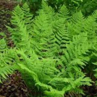 Evergreen Ferns