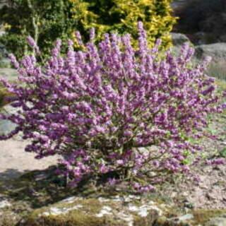 Daphne mezereum Rubra