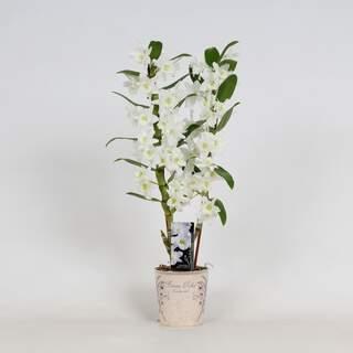 Dendrobium nob. StarCla Apollon white 2 stem
