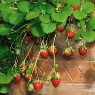 Strawberry Alpine