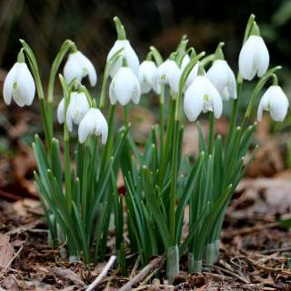 GALANTHUS NIVALIS (FIELD GROWN SINGLE) P/P