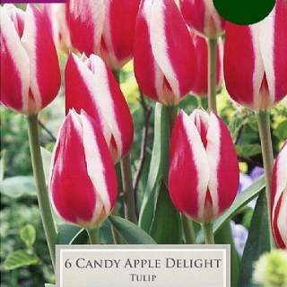 TULIP CANDY APPLE DELIGHT P/P