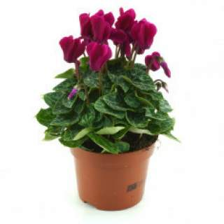 Cyclamen Purple