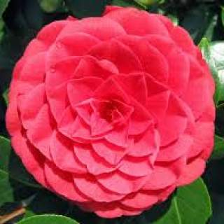Camellia Jap Black lace