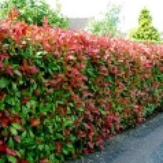 PHOTINIA SERR. RED ROBIN CLT 18 H 100 - 150 CM  BUSH