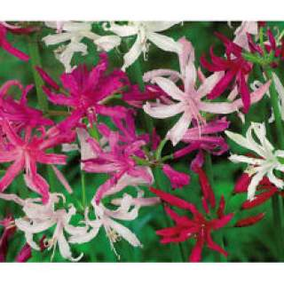 5 NERINE FIREWORKS FUSION 12-14