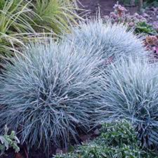 Festuca glauca Intense Blue  2 Ltr pot