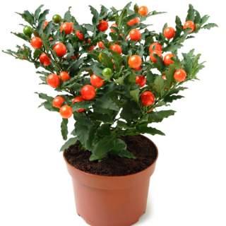 Solanum pseudocapsicum orange berry