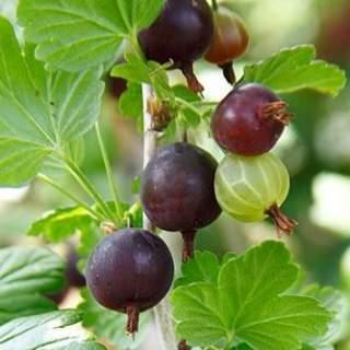 Ribes Black Velvet  (Gooseberry)