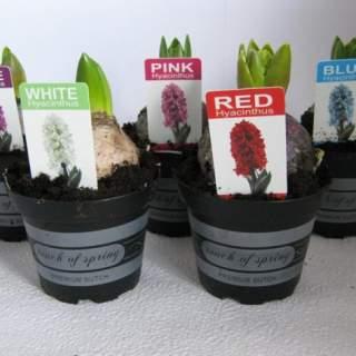 Hyacinthus (DA) mix
