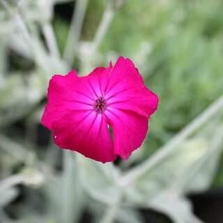 Lychnis cor. Atrosanguinea