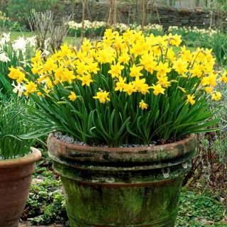 NARCISSI TETE A TETE BULK VALUE