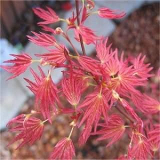 Acer palm Wilson Pink Dwarf