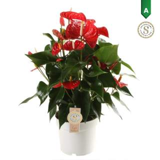 Anthurium and. Red Champion  P17