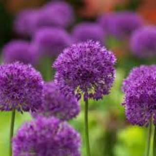 Allium holl. Purple Sensation