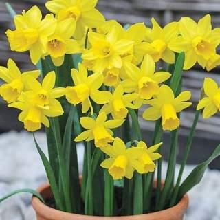 Narcissus CY Tete a tete