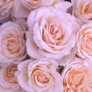 ROSA H The Birthday Rose Floribunda