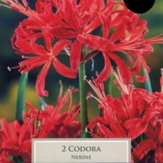 2 NERINE CODORA 12-14