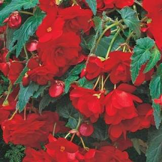 BEGONIA RED GIANT CASCADING