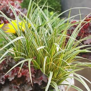 Carex Everglow