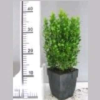 Buxus sempervirens P13 5 for €20