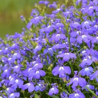 Lobelia blue, white or lilac 1L