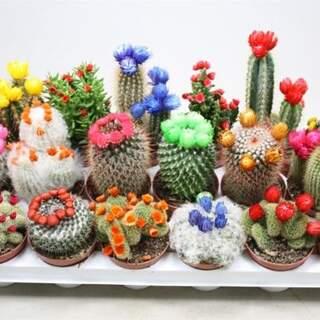 Cactus nr.903