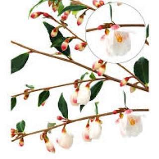 Camellia Cupido