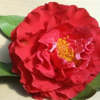 Camellia jap. Blood of China