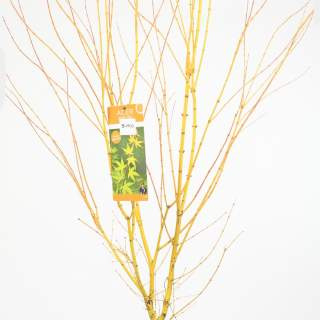 Acer palm. Bi hoo
