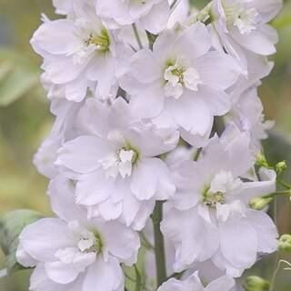 Delphinium Galahad p.h.