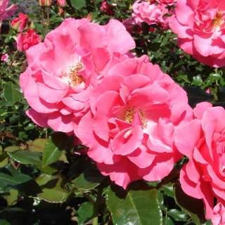 Rosa Romance