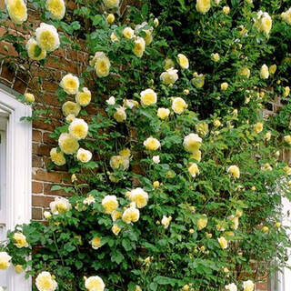 Climbing Roses in cultivars