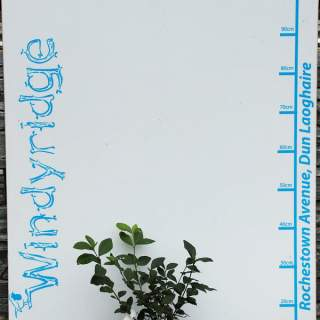 Ligustrum Ovalifolium (Privet)