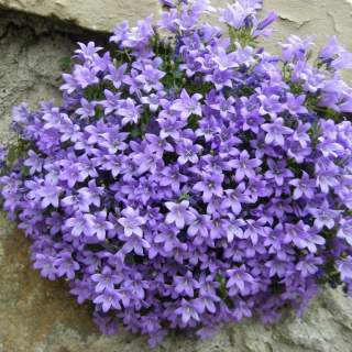 CAMPANULA port. Catharina