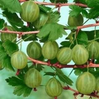 Ribes uva-crispa Invicta