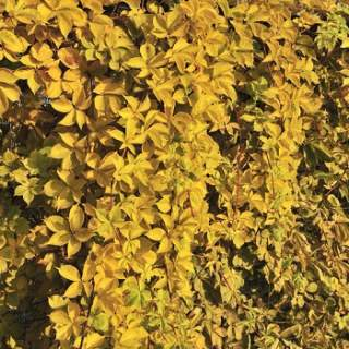 PARTHENOCISSUS Q. YELLOW WALL