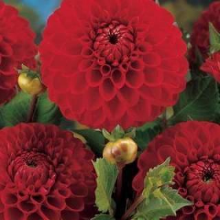 DAHLIA BOOM BOOM RED I