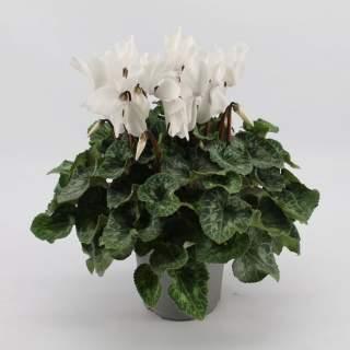 Cyclamen White