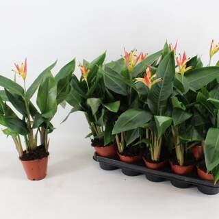 Heliconia psittacorum Hawai orange 1-2 flower