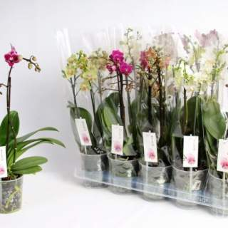 Phalaenopsis mix  3 stem