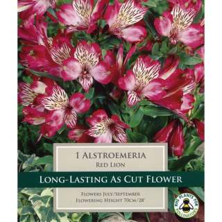 ALSTROEMERIA RED LION