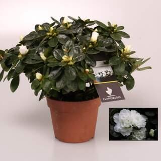Azalea simsii white