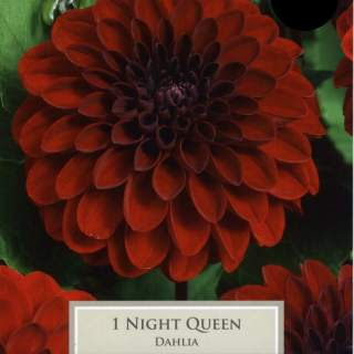 DAHLIA NIGHT QUEEN I